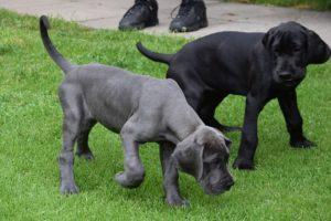 Cachorros Gran Danes Despues de Una Peluqueria